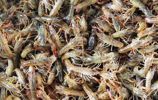 大部分为青壳虾,易脱壳,生长快