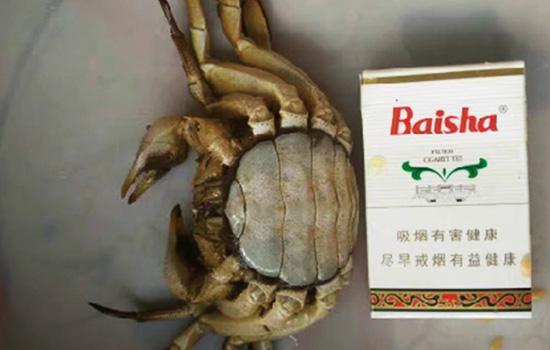 120克的河蟹(母)在进行第五次脱壳