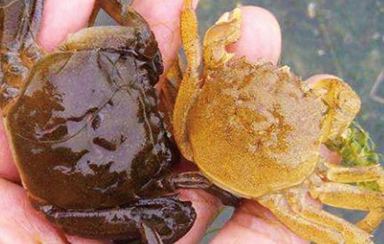 刚脱壳的河蟹