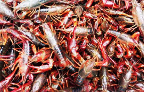 成品虾规格整齐,体色鲜艳,肉质饱满